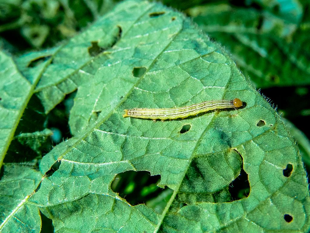 Os principais inseticidas para combater pragas de grãos