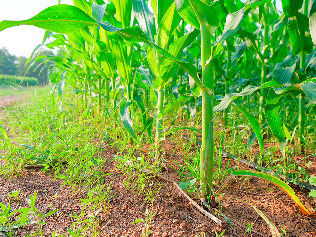 Veja como prevenir e controlar plantas daninhas na pré-safra