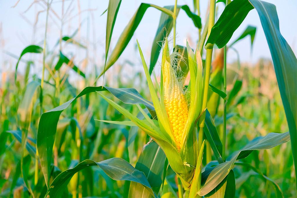 Plantação de Milho. Planejamento para maior produtividade