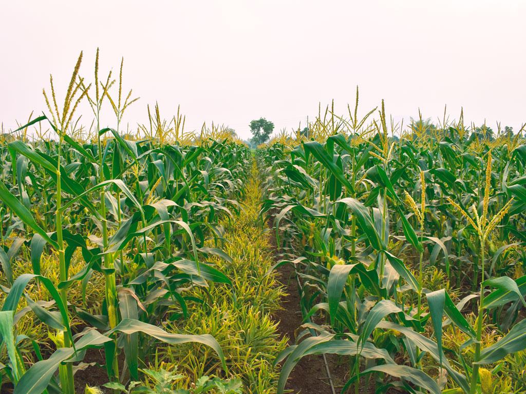 Adubação verde em culturas perenes