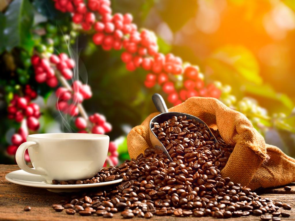 Como evitar perdas na colheita do café