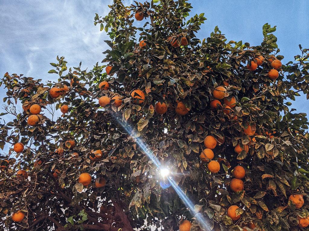 Principais pragas e doenças no cultivo de Citrus