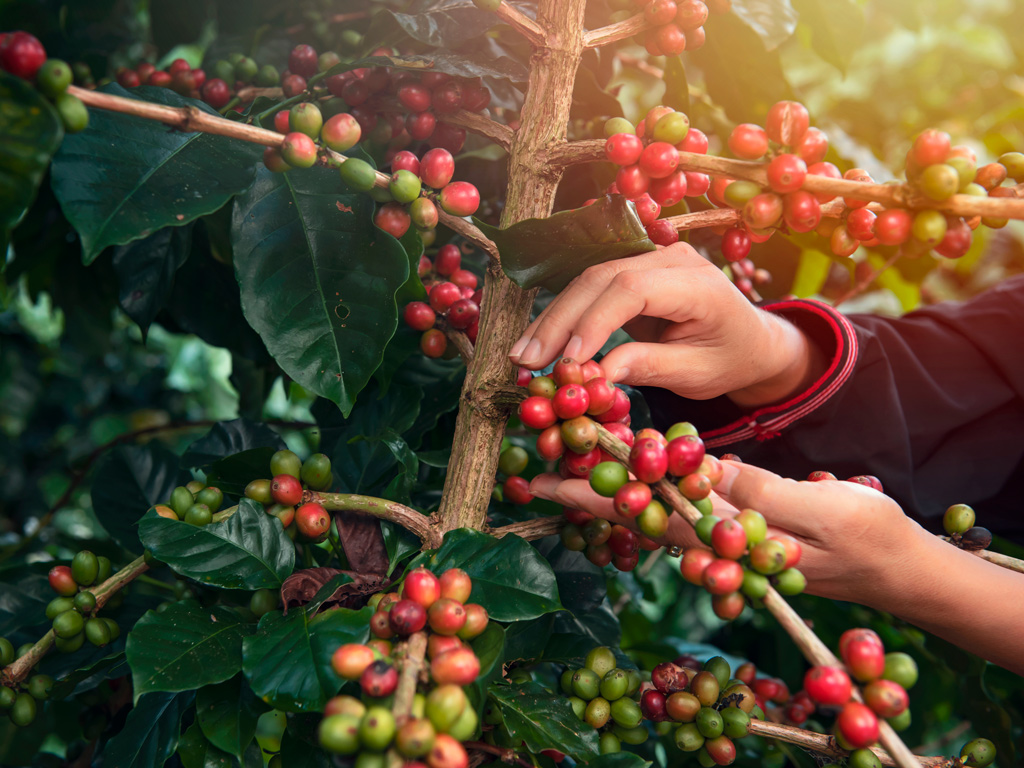 Planejamento de colheita do café