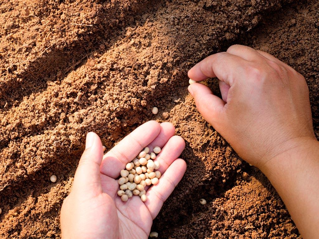Cálculo de semeadura da soja (PMS Soja): Passo a passo
