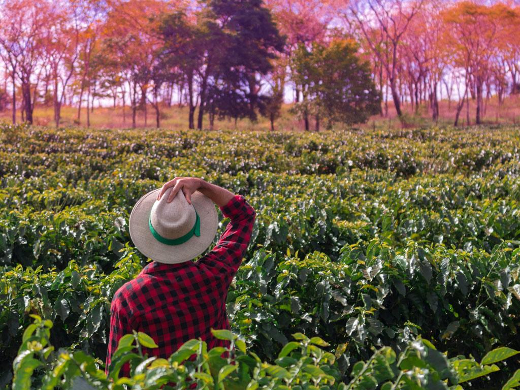 Planejamento agrícola da lavoura de café após a colheita