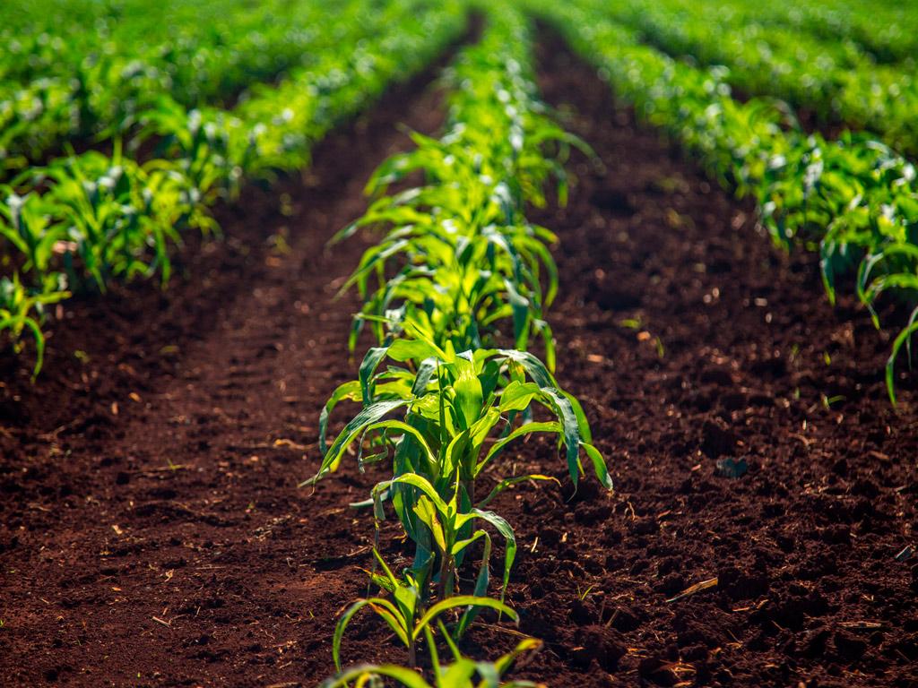 Planejamento Agrícola da cana-de-açúcar após a colheita