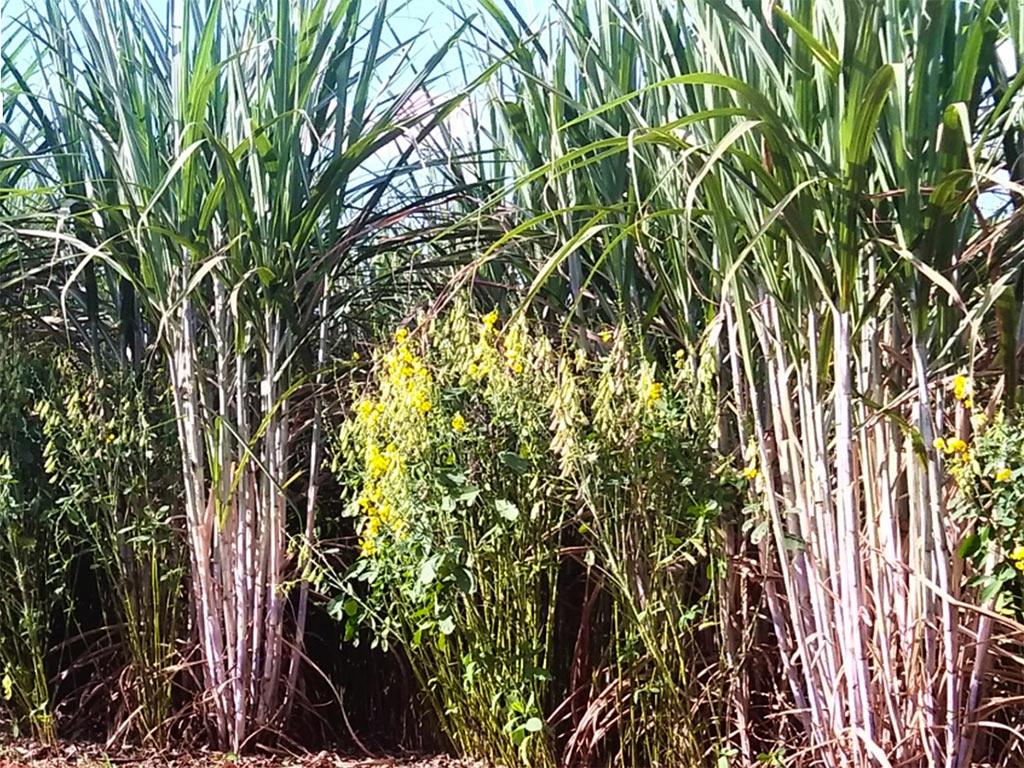 Plantas de Cobertura de Solo para Cana e Grãos
