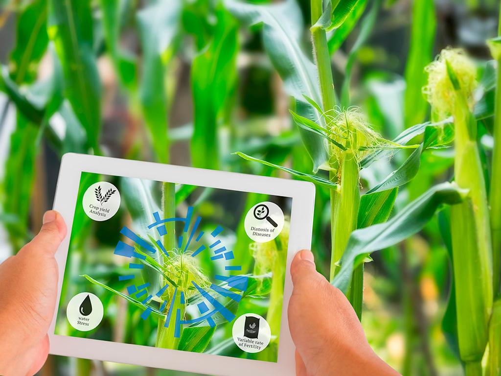 Plantação de milho e o papel da agricultura de precisão