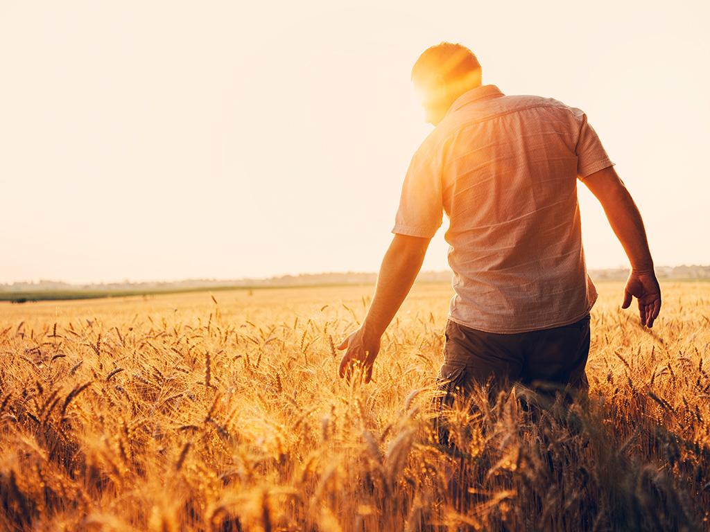 Cultivo do trigo: Conheça e saiba como planejar essa cultura