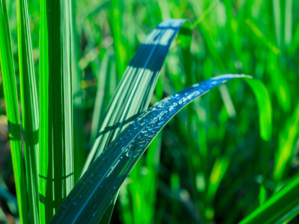 Irrigação da cana-de-açúcar: Conheça alguns mitos!