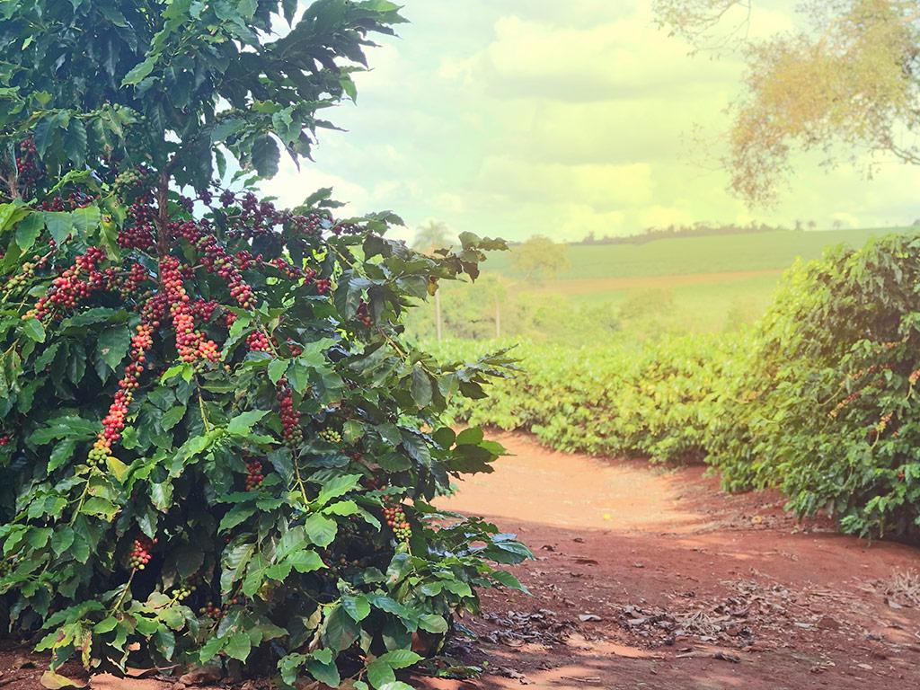 Importância do software de gestão rural de fazendas de café