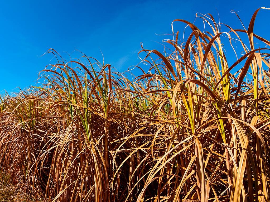 O período de seca pode afetar a produção da cana-de-açúcar?