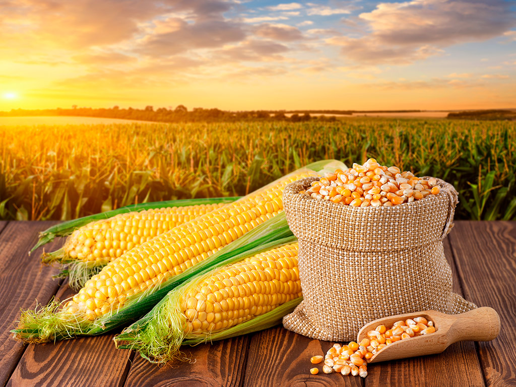 Mercado do milho: situação atual e expectativas
