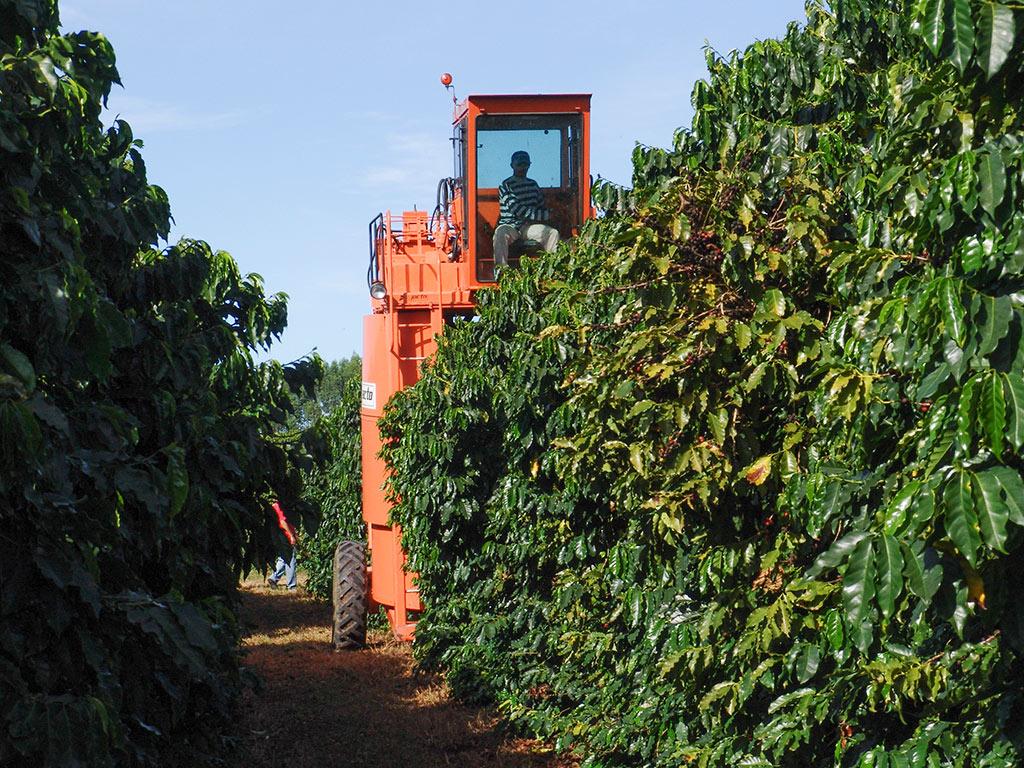 A etapa da colheita na cafeicultura
