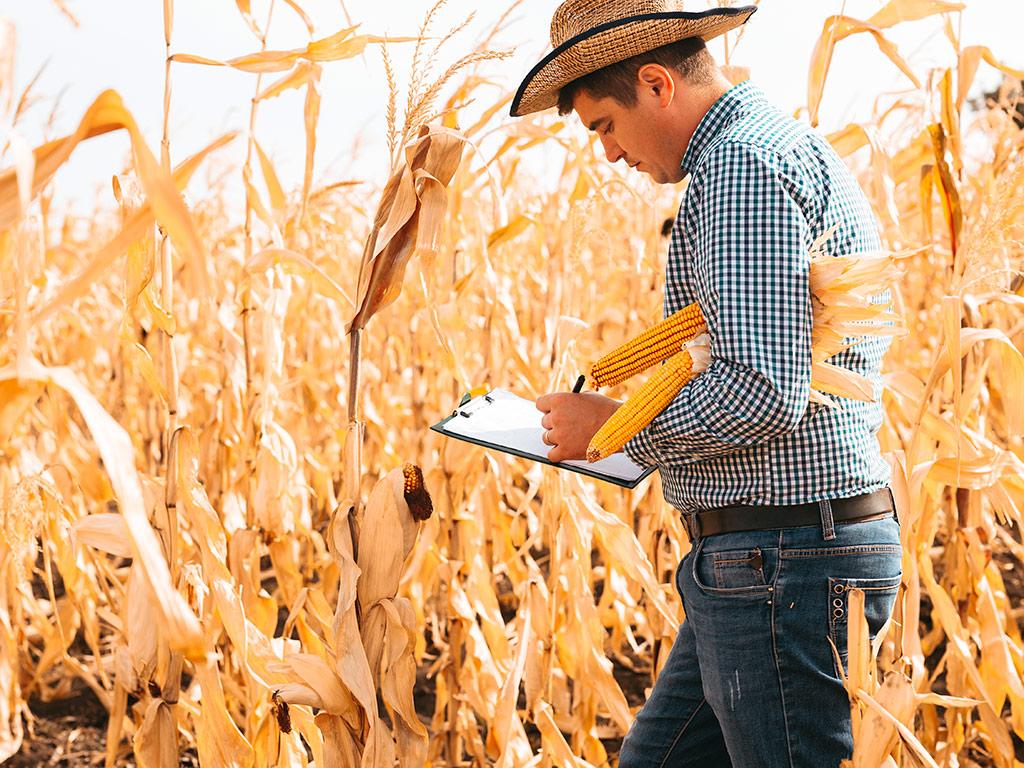 Recomendações para alta produtividade da plantação de milho