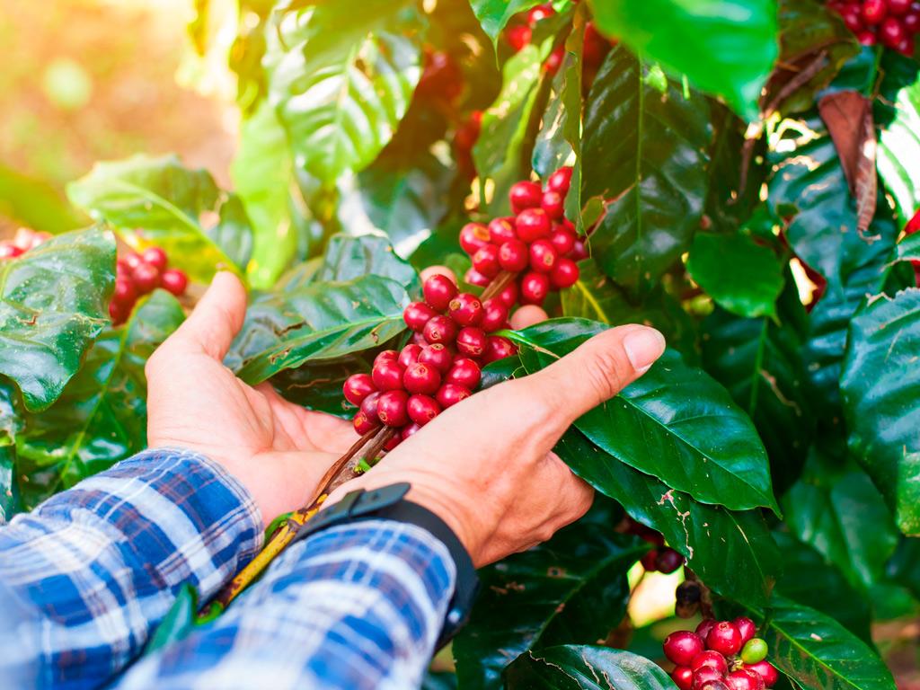 Dicas para melhor combate às pragas do cafezal