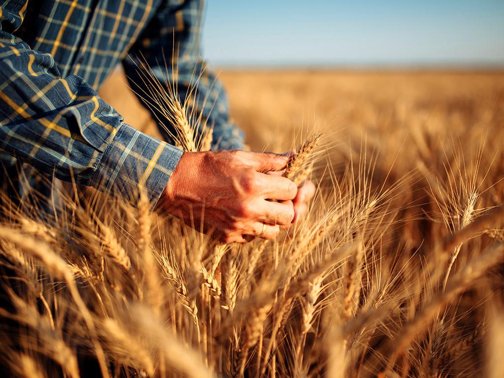 Trigo: Entenda seu cultivo e a importância da gestão agrícola