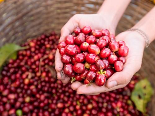 Colheita do café: Os processos fundamentais para lucros maiores