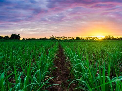 Manejo do solo sob cana-de-açúcar: como evitar pragas e doenças