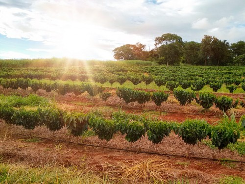Plantio e replantio de café: orientações para tornar o cafezal produtivo