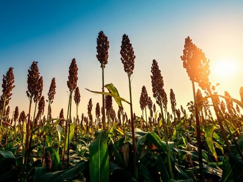 Plantação de Sorgo: Entenda suas características e benefícios