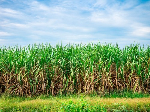 Plantas daninhas na cana-de-açúcar e indicação de manejo