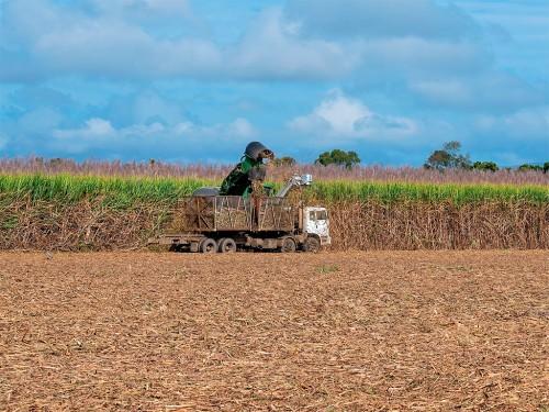Ataque de Pragas e a Colheita da Cana-de-Açúcar